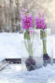 Hyacinths at Winter Time