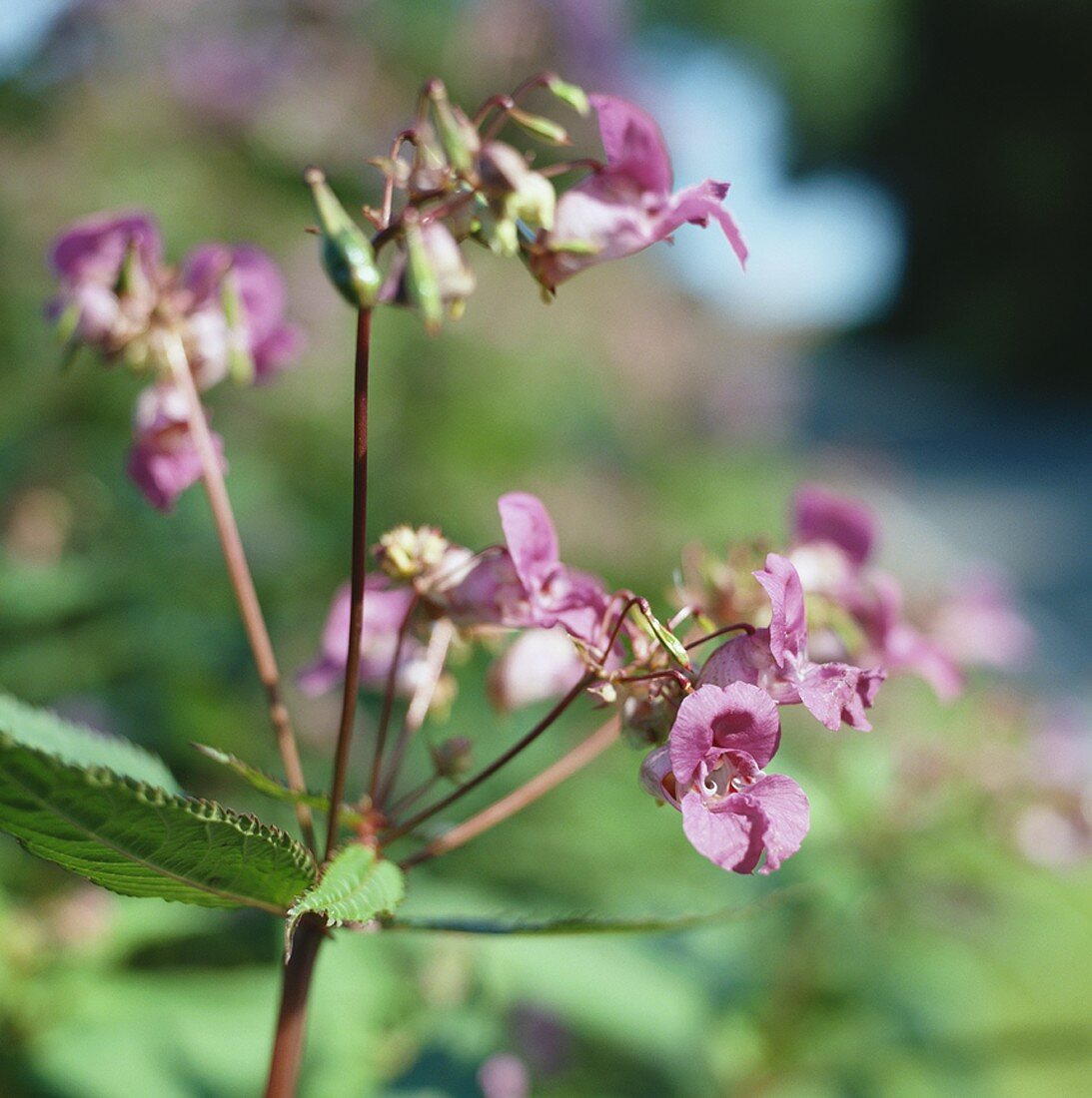 Himalayan or Indian balsam (Impatiens, Bach flowers ingredient)