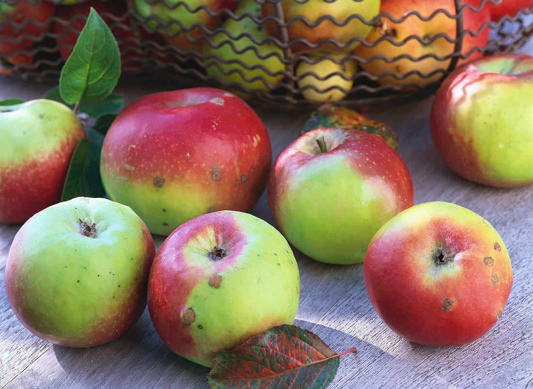 Brettacher apples