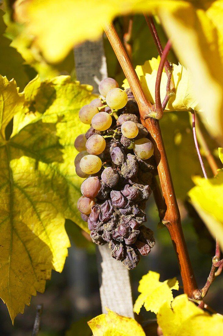 Furmint grapes for Aszu wine, Tolcsva, Tokaj, Hungary