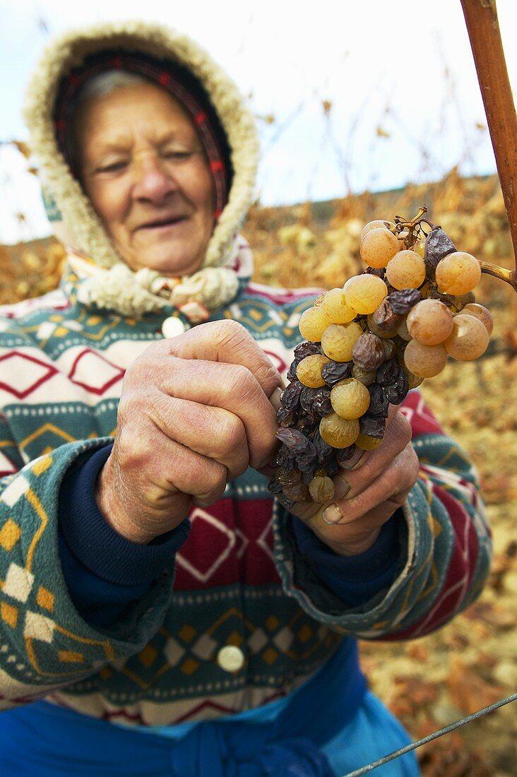Female worker with Furmint grapes, Hetszolo Estate, Tokaj, Hungary