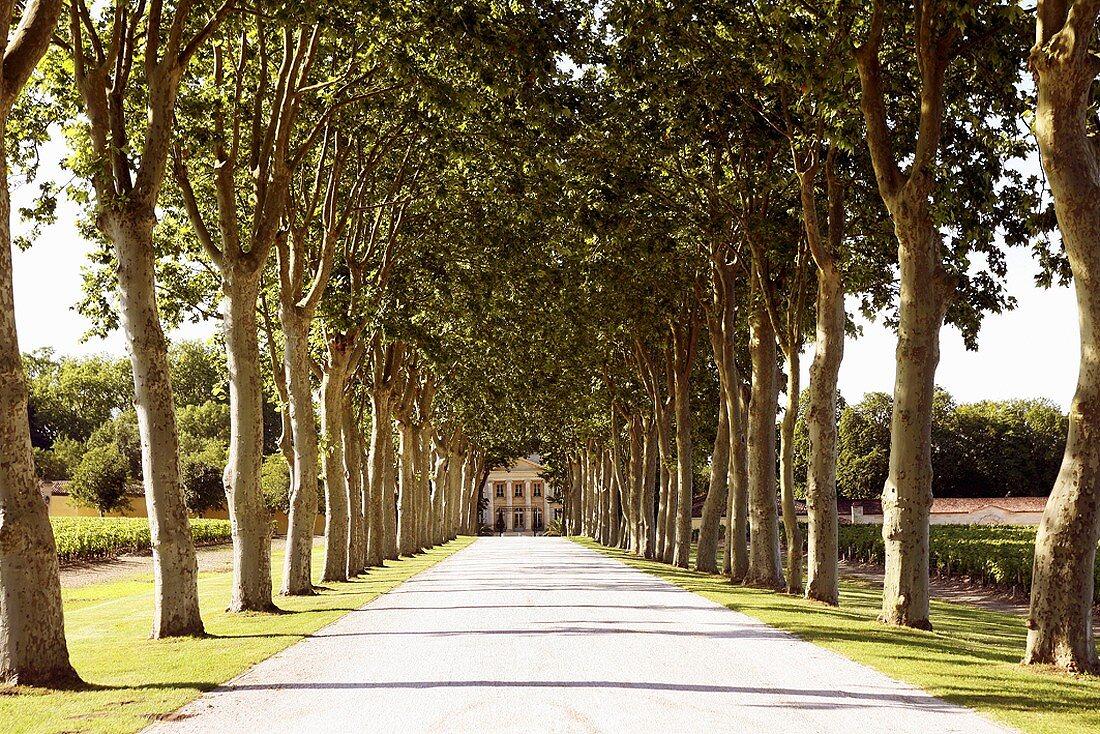 Avenue of trees to Château Margaux, Médoc, Bordeaux, France