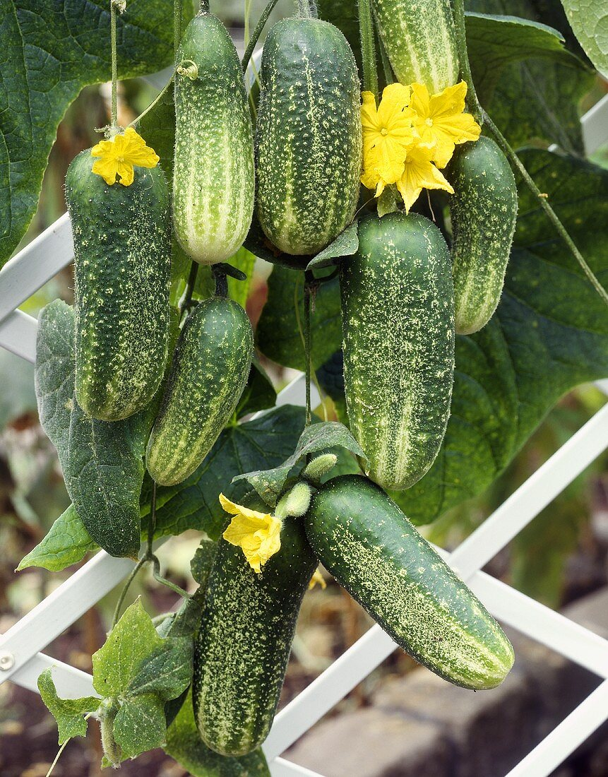 Fresh pickling cucumbers on the plant