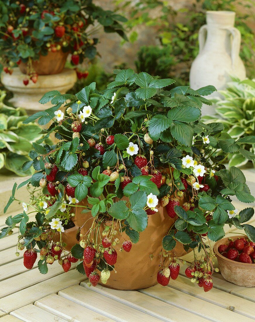 Strawberries in flowerpot