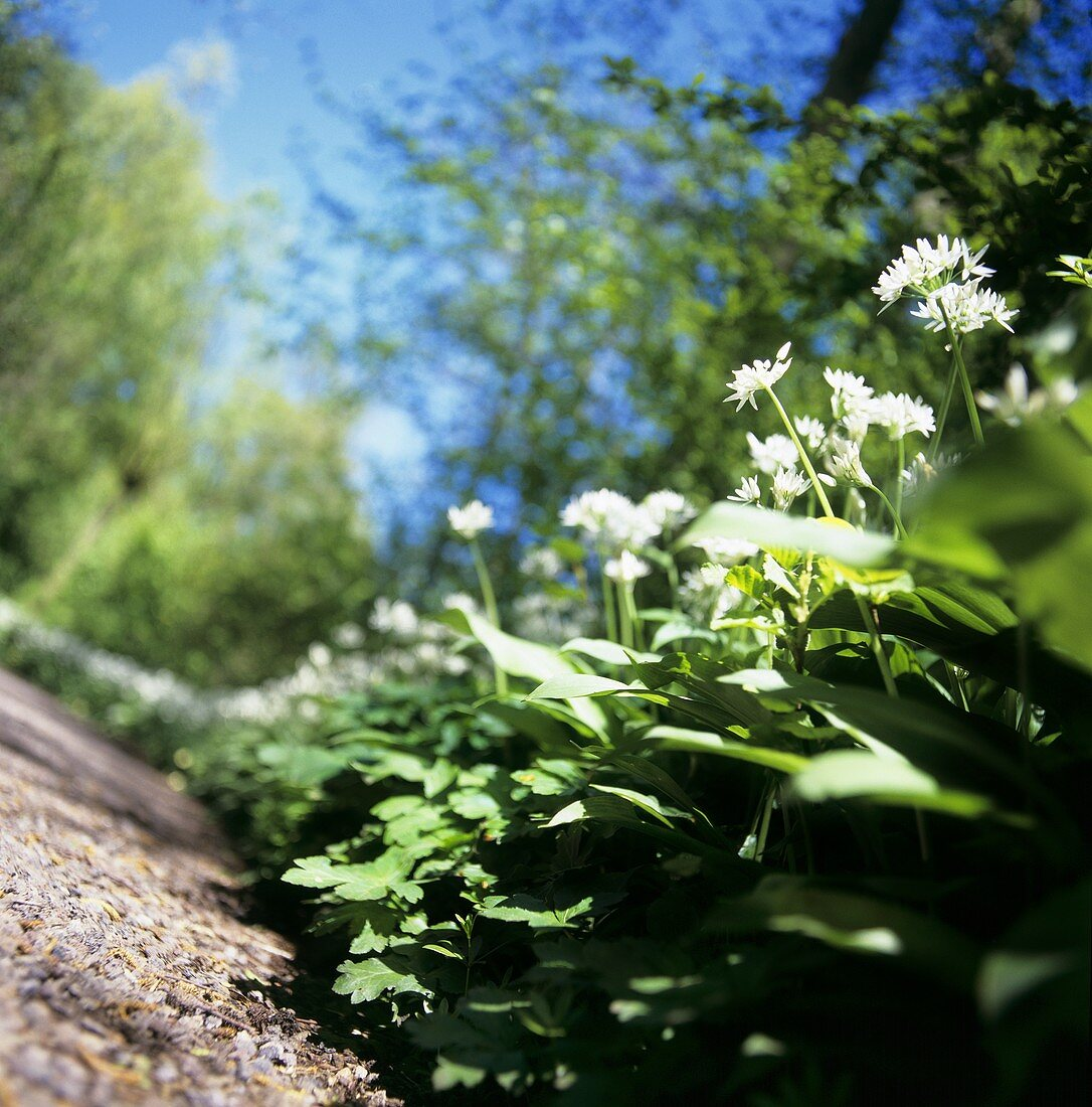 Flowering ramsons (wild garlic) by side of path