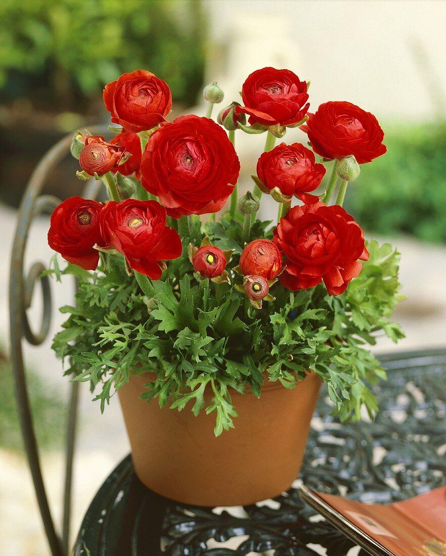 Red ranunculus in pot