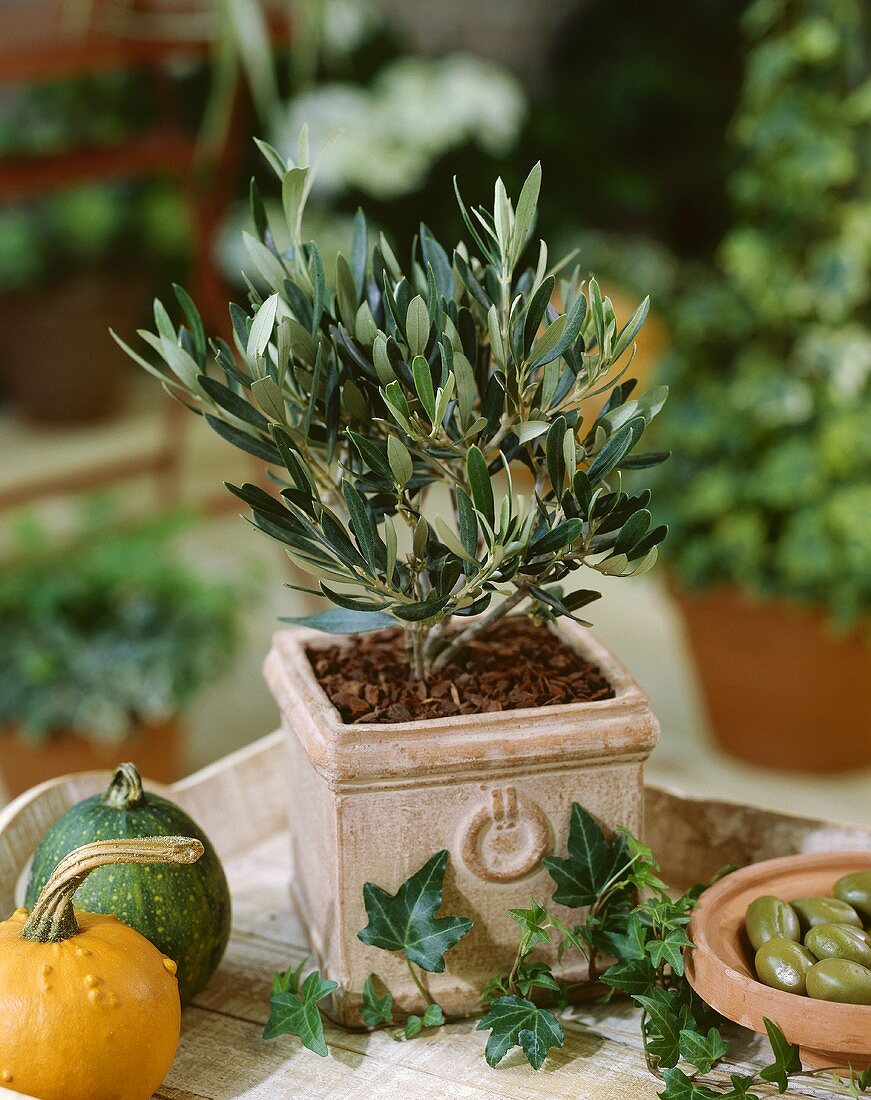 Small olive tree in pot