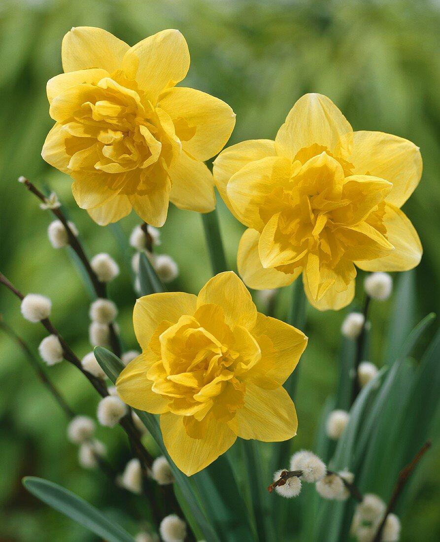 Three yellow narcissi