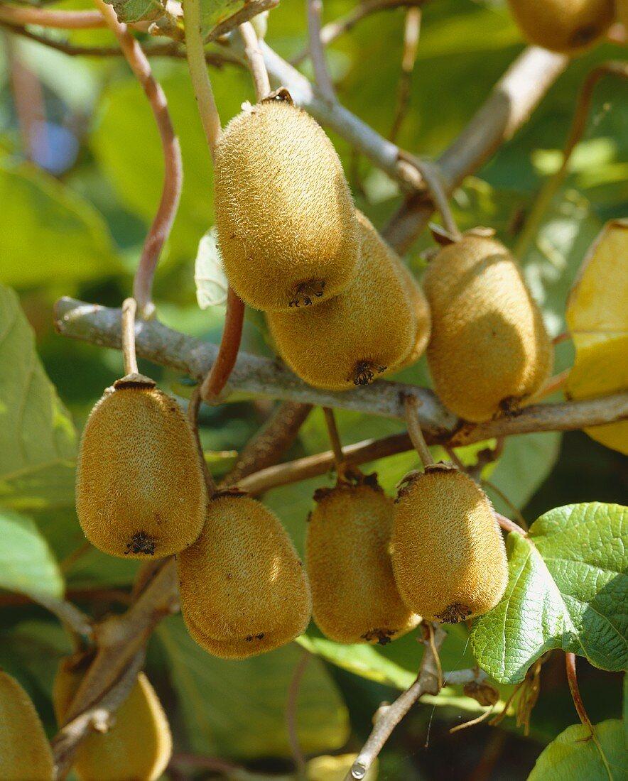 Kiwi fruit on the branch