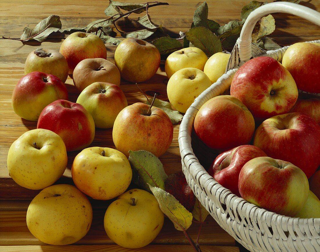 Stillleben mit verschiedenen alten Apfelsorten