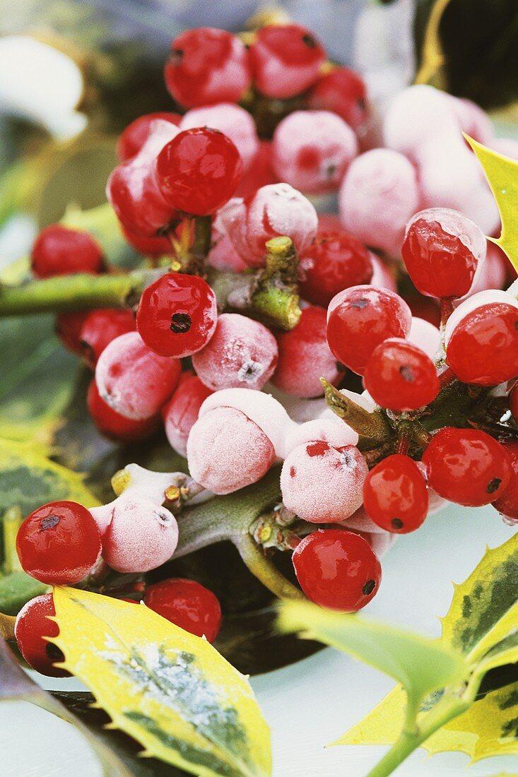 Frozen holly berries