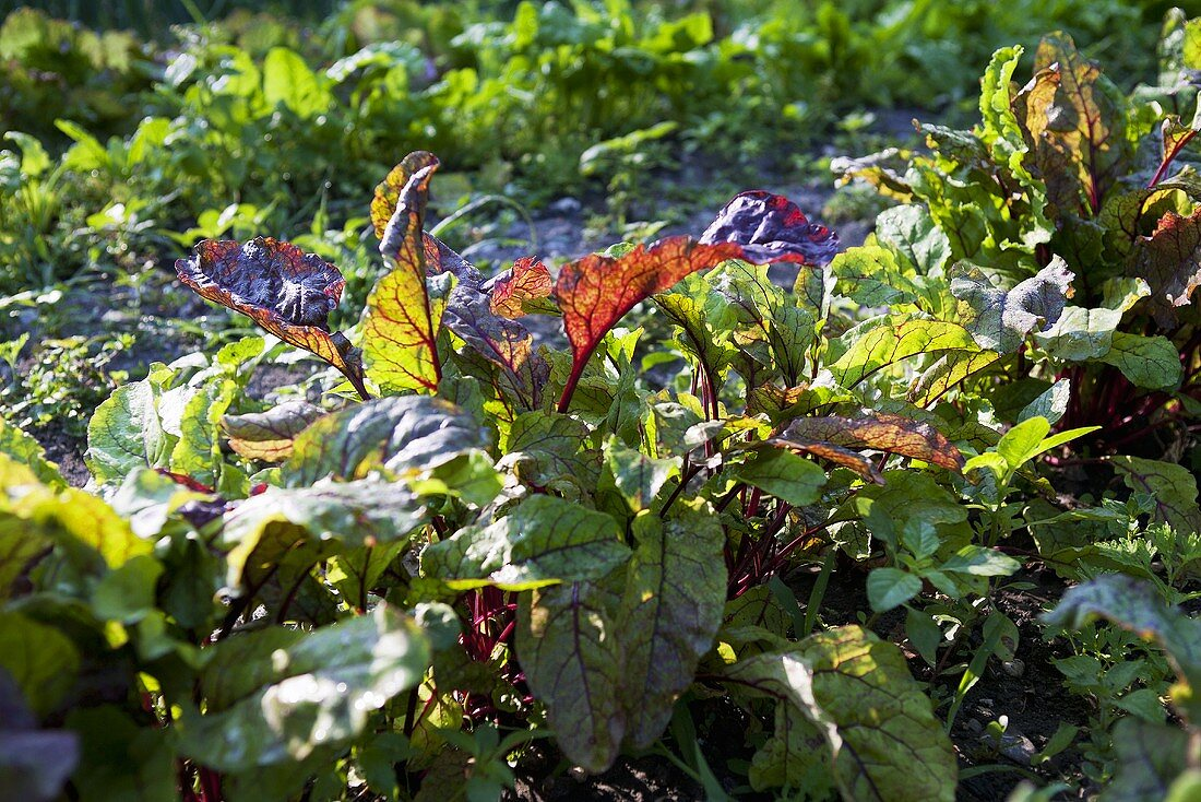Beetroot plants in a vegetable patch