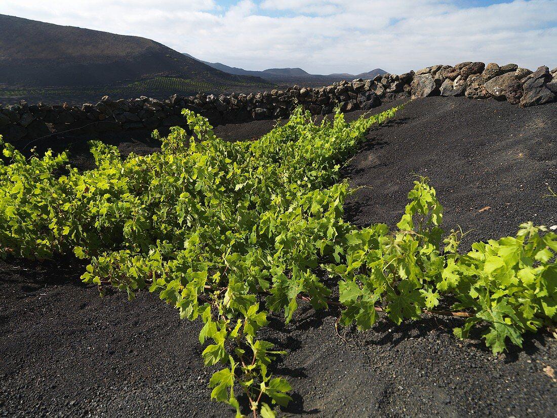 A vineyard growing on a lava flow, Lanzarote