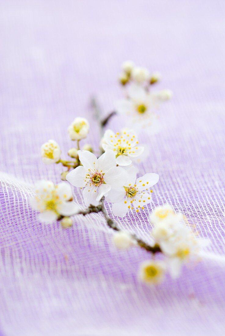 A spray of plum blossom
