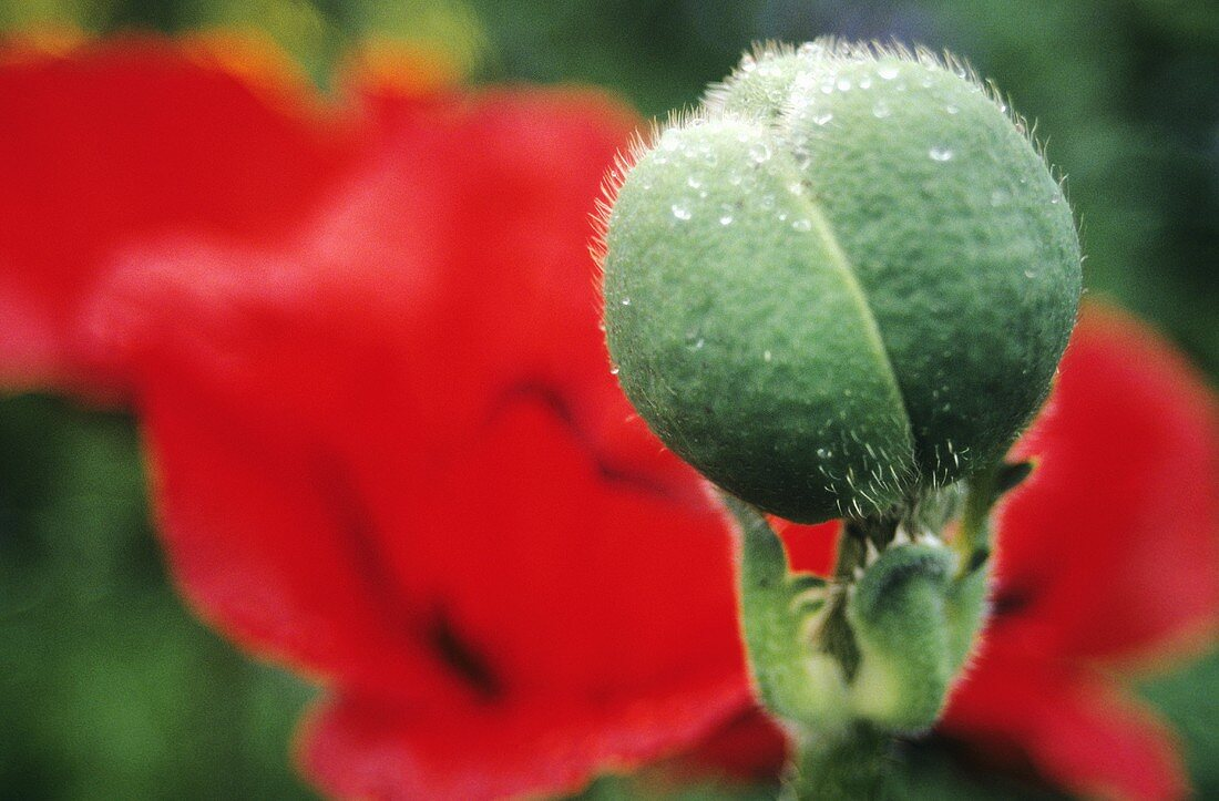 Corn poppy bud and flower