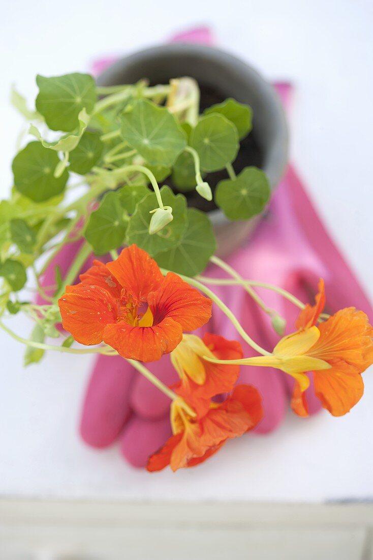 A flowering nasturtium in a flower pot on top of a rubber glove
