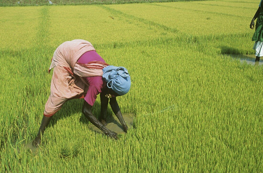 Woman working in rice field (India)