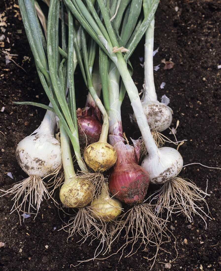 Various types of onions on soil