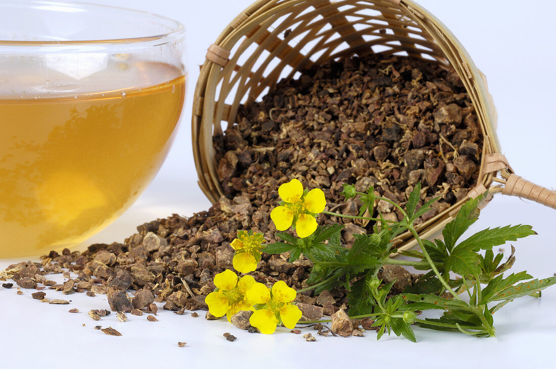 A cup of tormentil tea, dried root and flowers