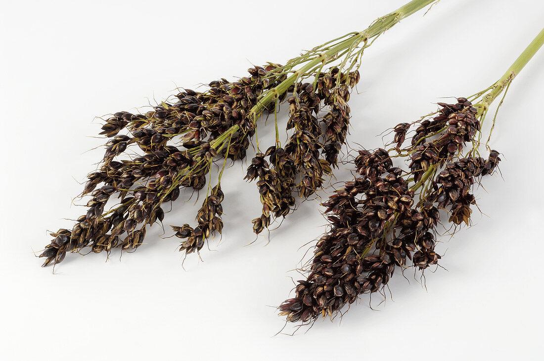Grain sorghum (Sorghum vulgare)