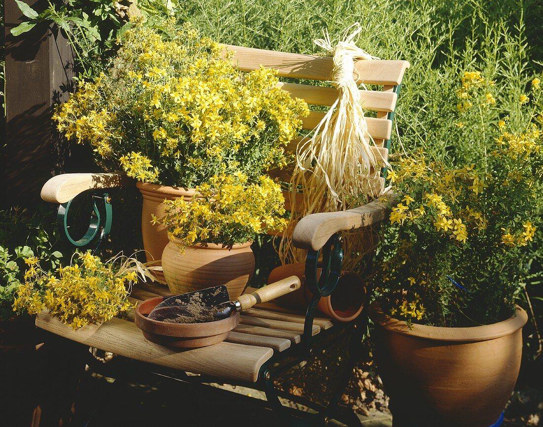Flowering St. John's wort in pots on garden chair