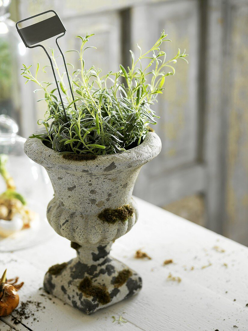 Rosemary in a herb pot