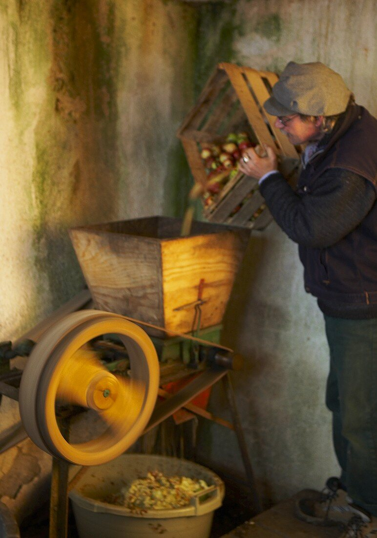 Worker tipping cider apples into wooden press