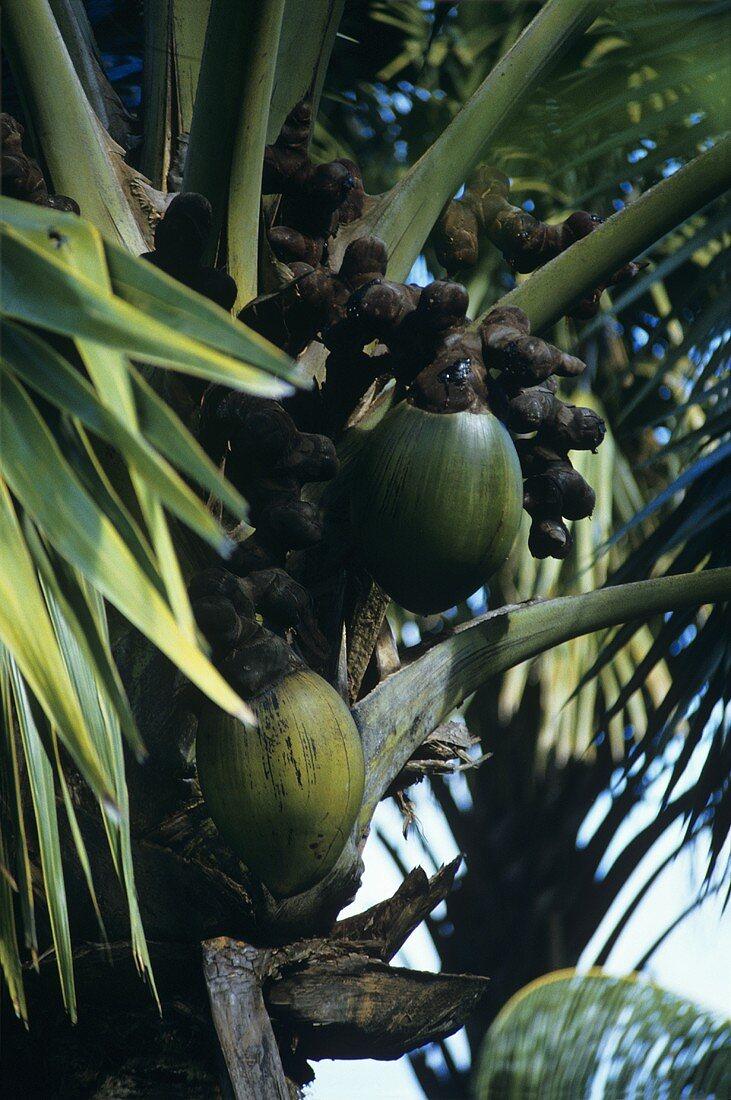Coco de Mer (Seychelles nut, sea coconut, Lodoicea maldivica)