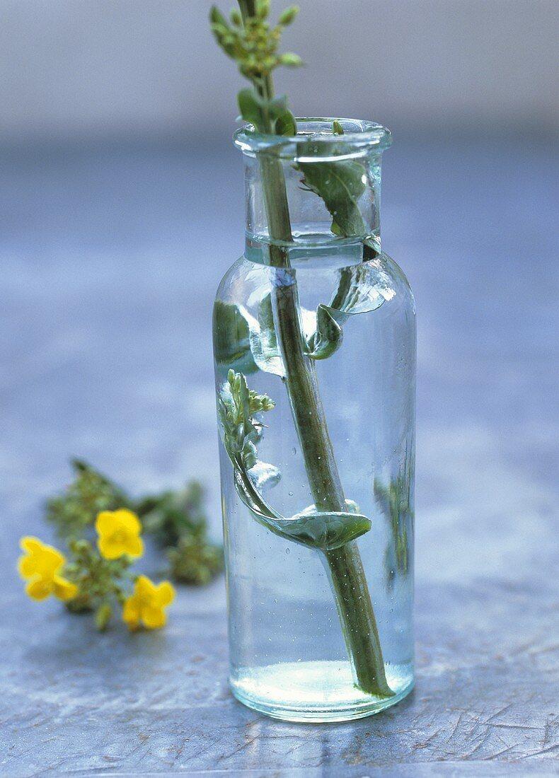 Oilseed rape in a bottle, rape flower in background
