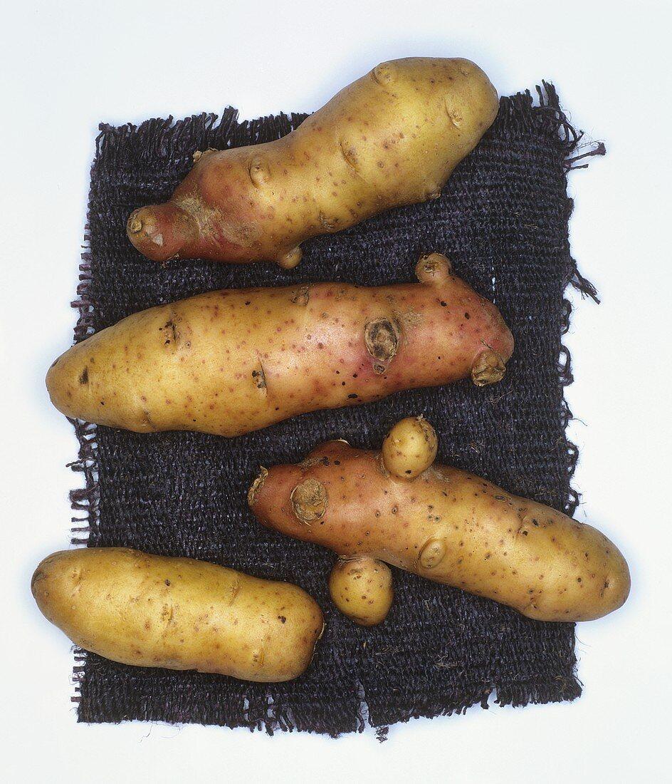 Potatoes, variety: Pink Fir Apple