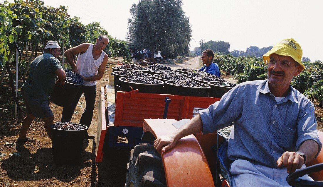 Harvesting Negroamaro grapes near Alezio in the Lecce province, Apulia, Italy