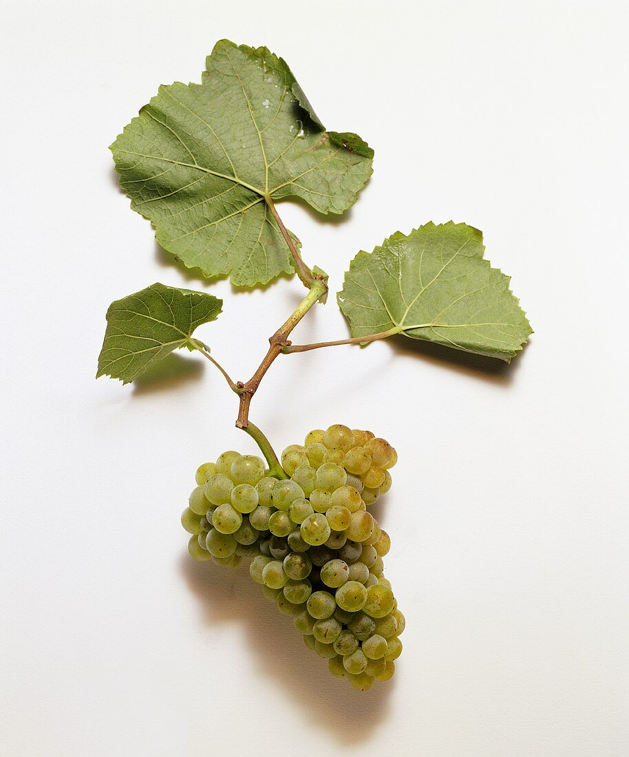 Pinot blanc grapes and vine leaves