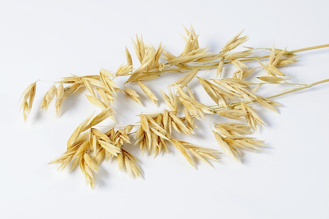 Naked oat (Avena sativa ssp. chinensis)