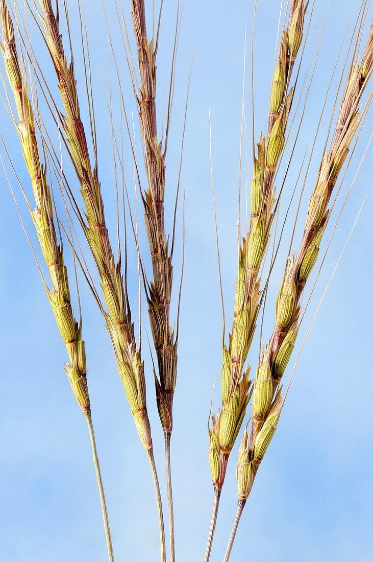 Goatgrass (Aegilops speltoides)
