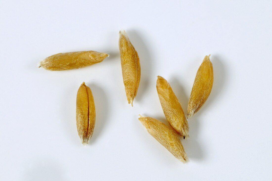 Naked oat (Avena nuda ssp. nuda)