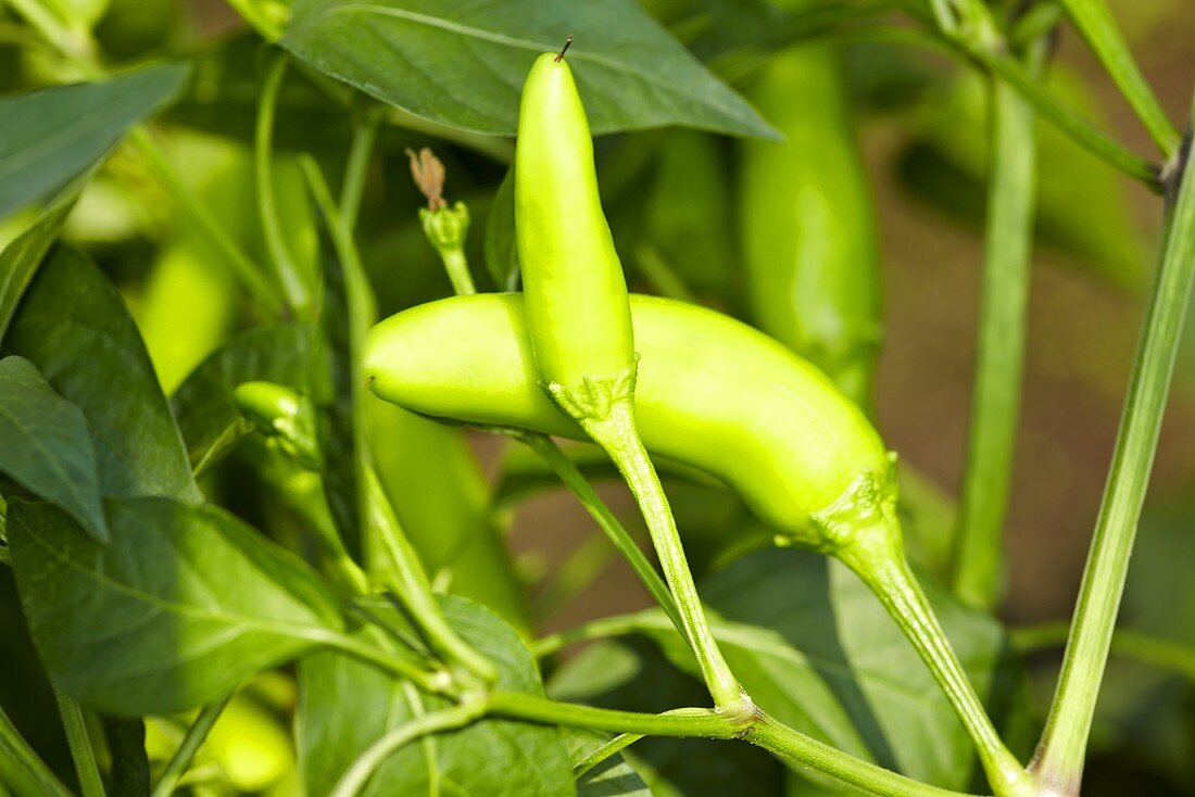 'Sarit Gat' organic chilli peppers