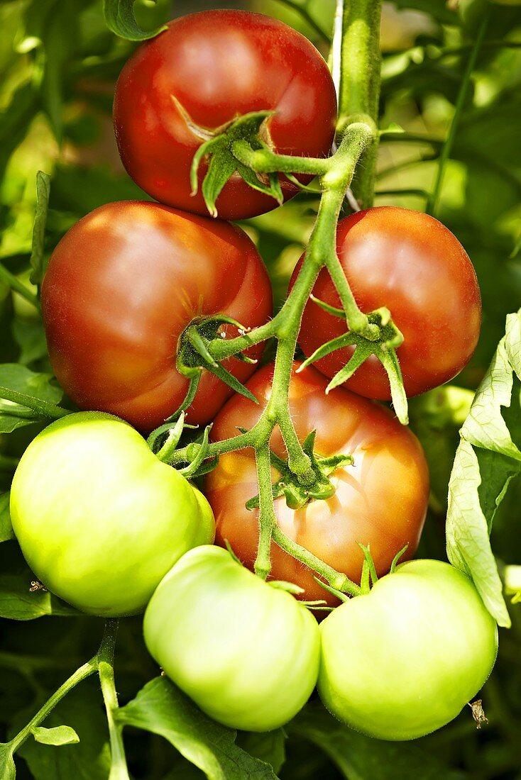 'Bern Rose' organic tomatoes