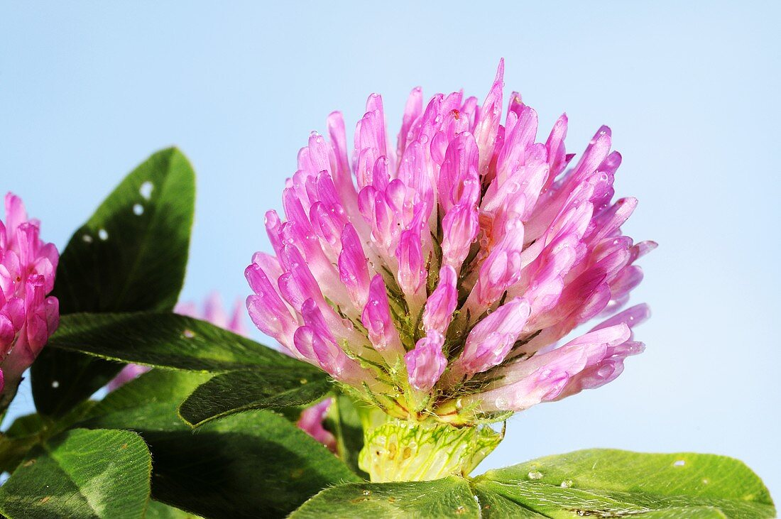 Blossoming red clover