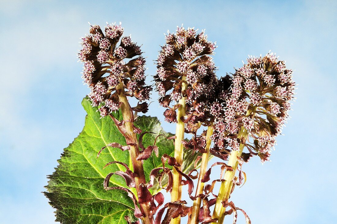 Common butterbur (petasites hybridus) with leaves