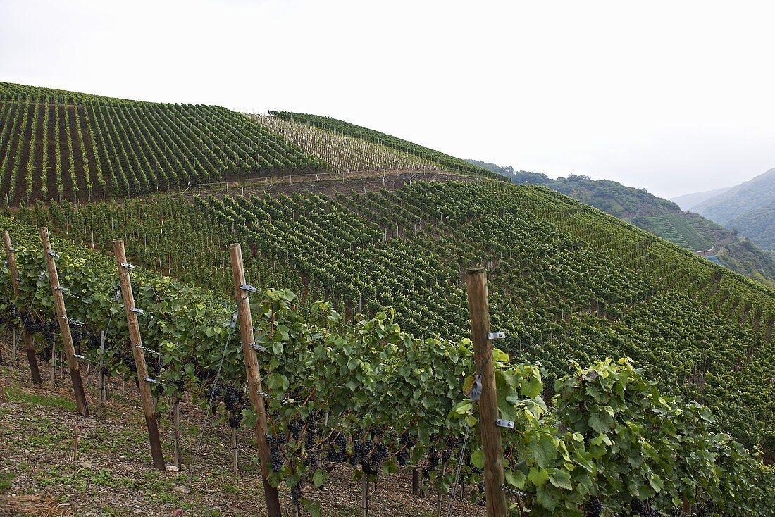 A vineyard in the Ahr region