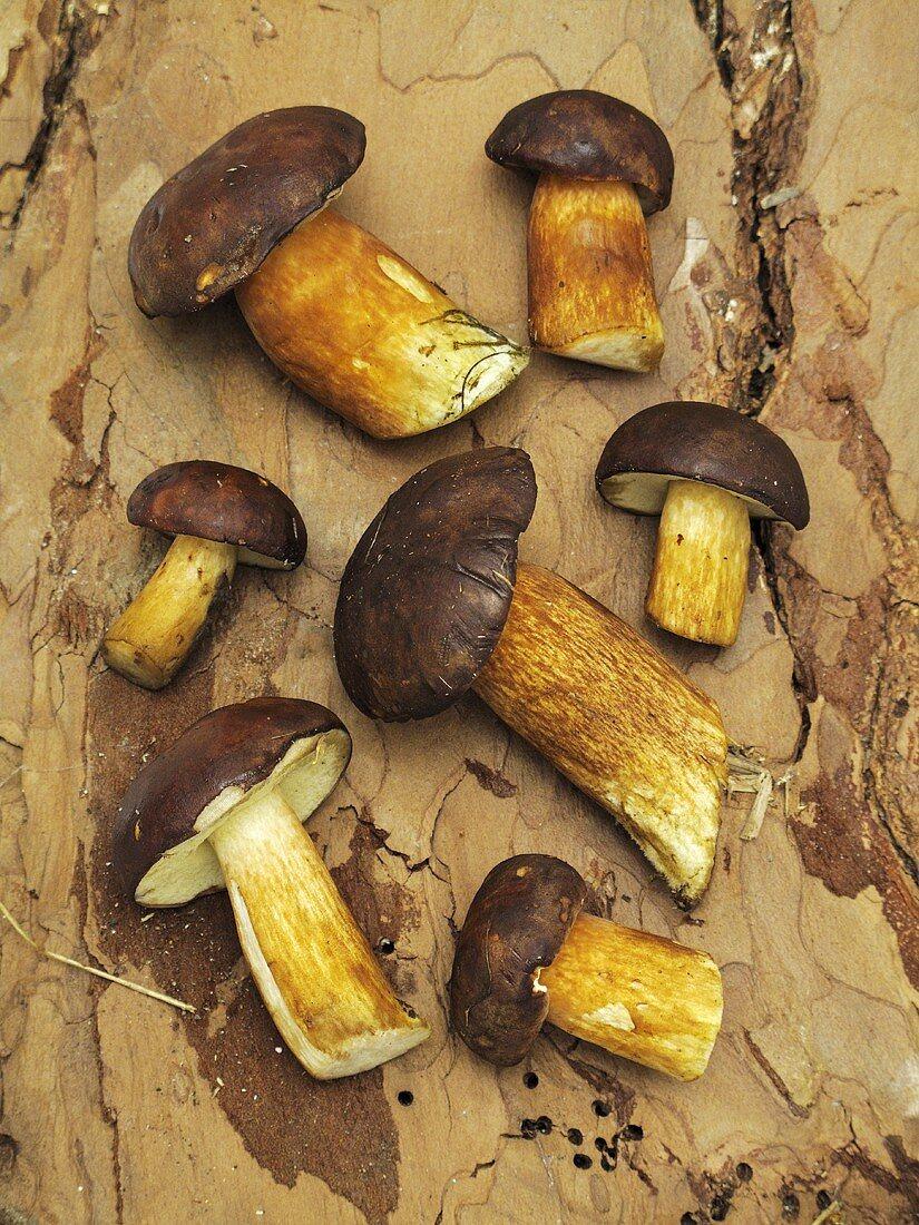 Fresh bay bolete mushrooms on a piece of bark