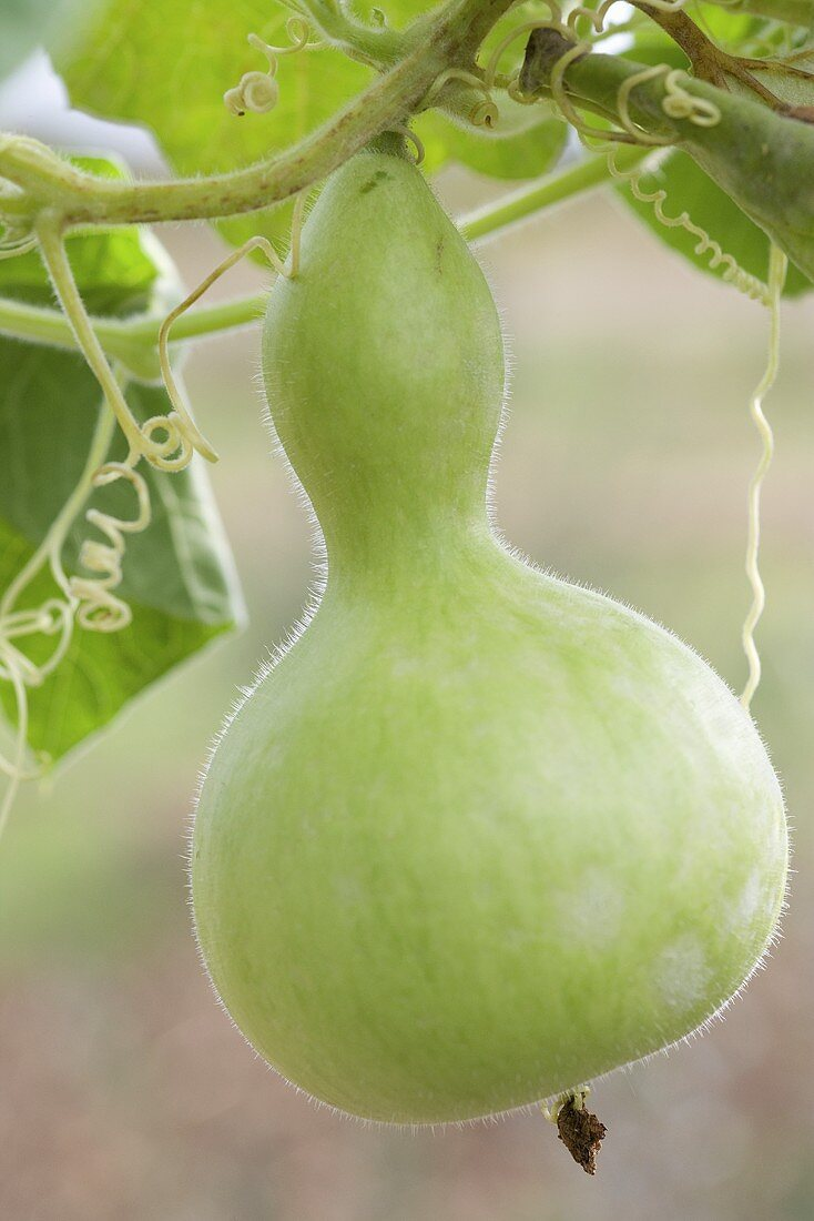 A calabash squash on a plant