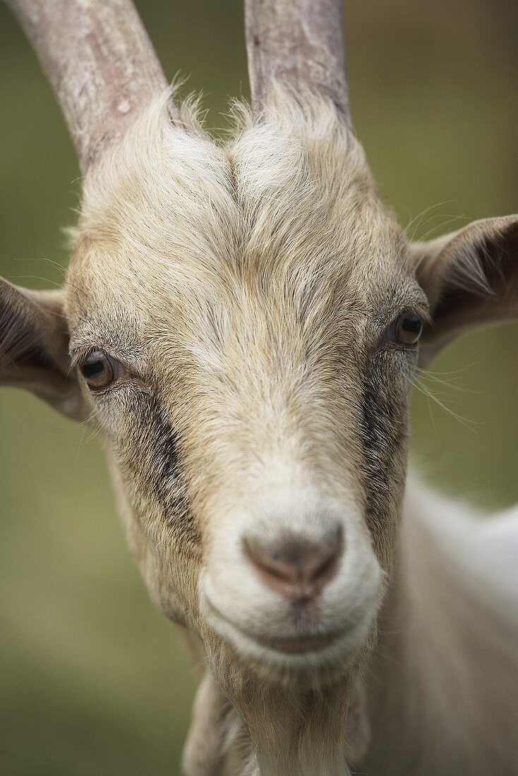 A goat (close-up)
