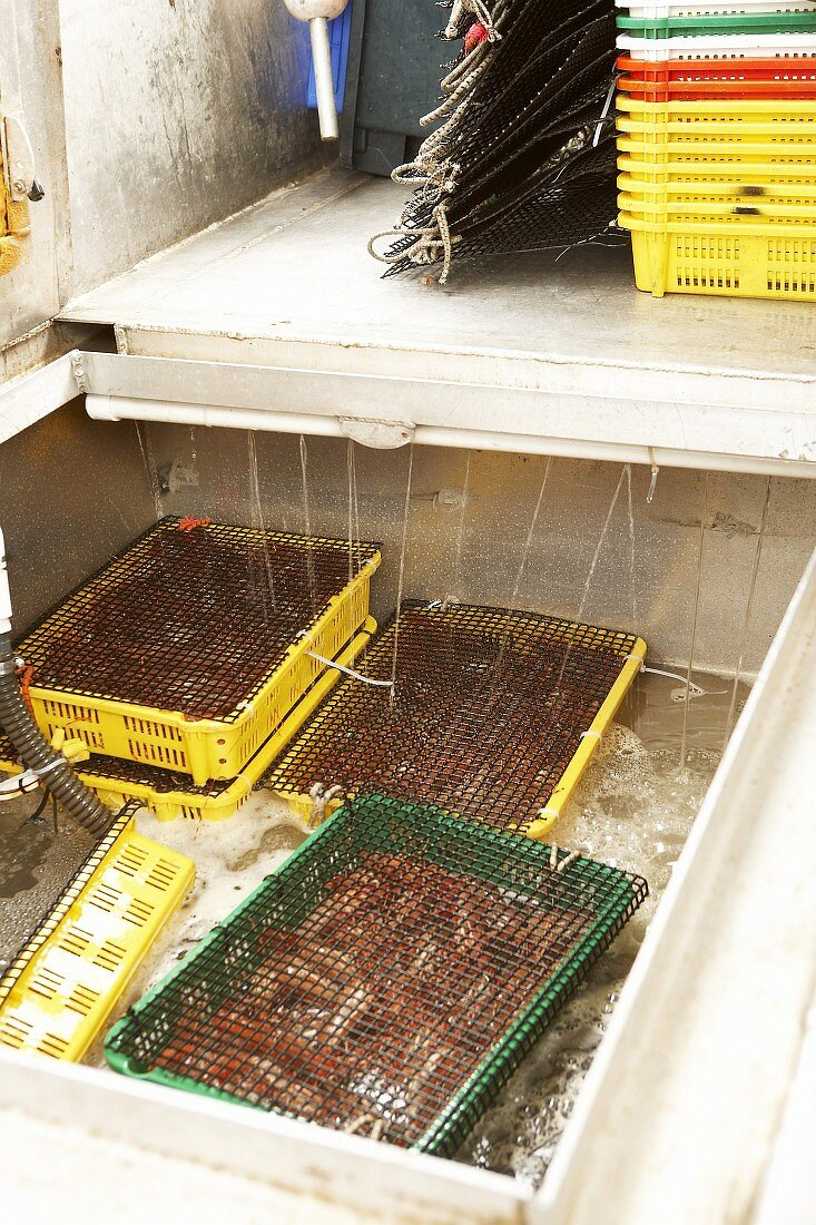 Freshly caught prawns in a tank of water