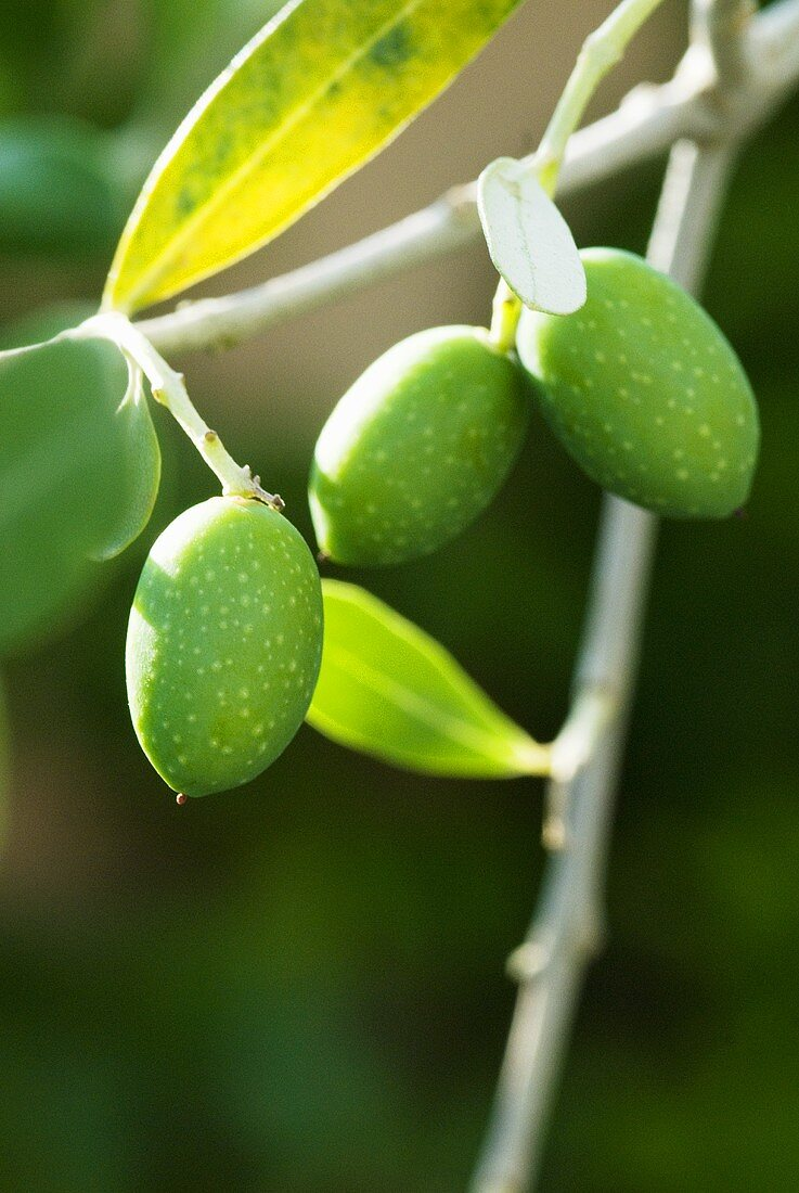 Fresh olives on the branch