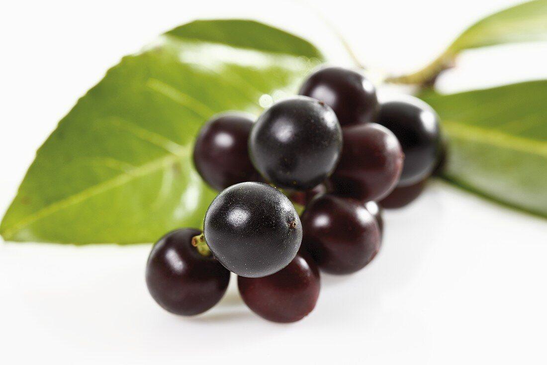 Sprig of cherry laurel with cherries (close-up)