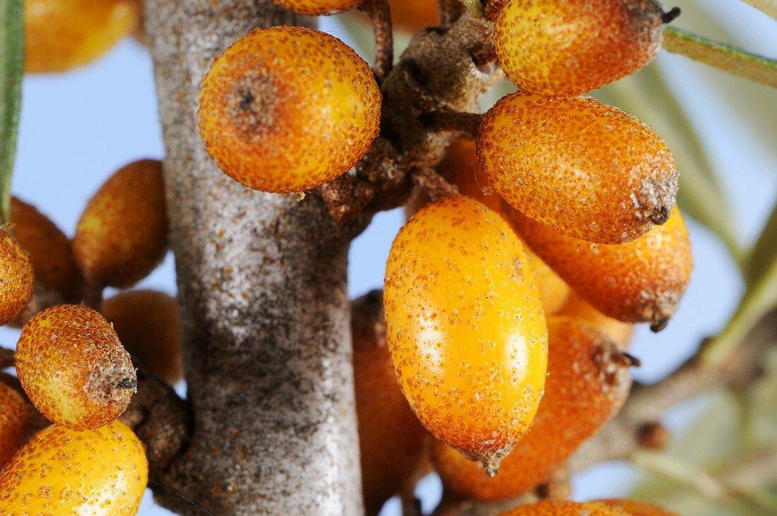 Sea buckthorn berries (close-up)