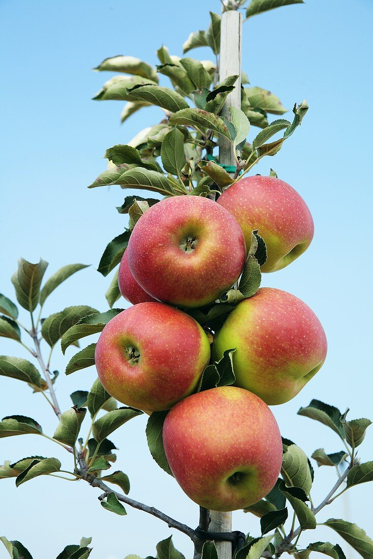 Espalier apples on the branch