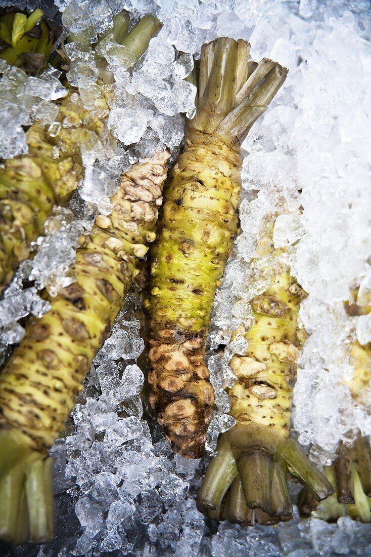 Japanese horseradish (wasabi) on ice