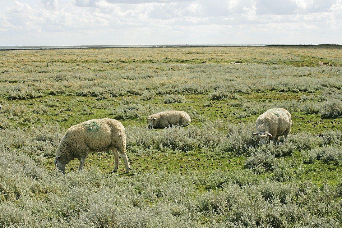 Salt marsh lambs grazing (North Germany)